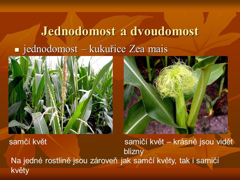 Jednodomost a dvoudomost jednodomost – kukuřice Zea mais jednodomost – kukuřice Zea mais Na jedné rostlině jsou zároveň jak samčí květy, tak i samičí