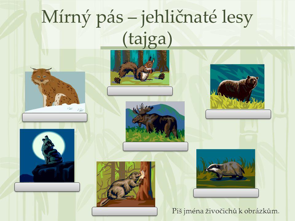 Mírný pás – jehličnaté lesy (tajga) Piš jména živočichů k obrázkům.