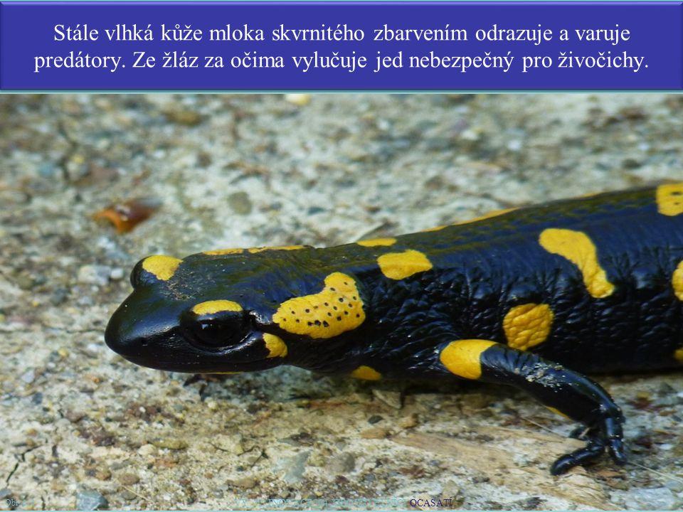 Stále vlhká kůže mloka skvrnitého zbarvením odrazuje a varuje predátory. Ze žláz za očima vylučuje jed nebezpečný pro živočichy. 5 Obr. č. 4 VY_32_INO