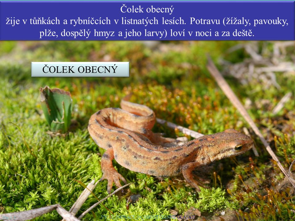 6 Čolek obecný žije v tůňkách a rybníčcích v listnatých lesích. Potravu (žížaly, pavouky, plže, dospělý hmyz a jeho larvy) loví v noci a za deště. Obr