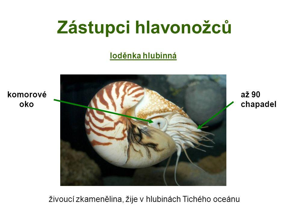Zástupci hlavonožců živoucí zkamenělina, žije v hlubinách Tichého oceánu loděnka hlubinná komorové oko až 90 chapadel