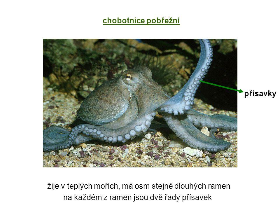 chobotnice pobřežní žije v teplých mořích, má osm stejně dlouhých ramen na každém z ramen jsou dvě řady přísavek přísavky