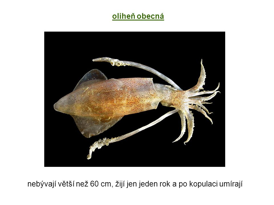 nebývají větší než 60 cm, žijí jen jeden rok a po kopulaci umírají oliheň obecná