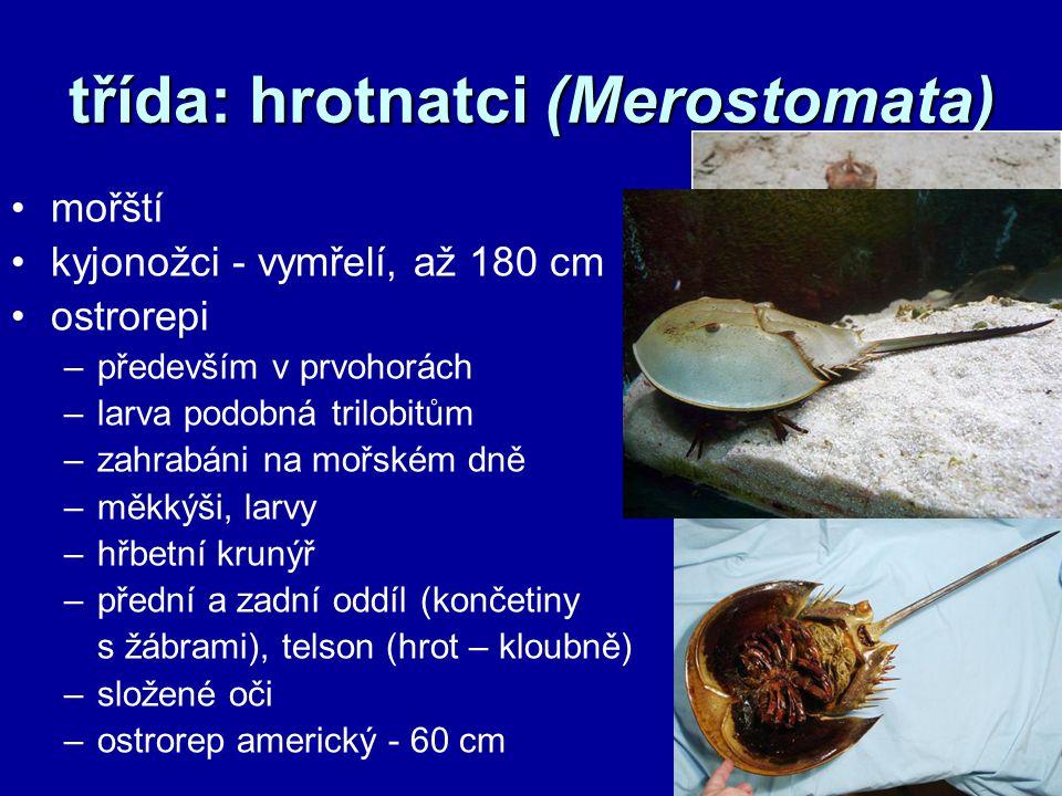třída: hrotnatci (Merostomata) mořští kyjonožci - vymřelí, až 180 cm ostrorepi –především v prvohorách –larva podobná trilobitům –zahrabáni na mořském dně –měkkýši, larvy –hřbetní krunýř –přední a zadní oddíl (končetiny s žábrami), telson (hrot – kloubně) –složené oči –ostrorep americký - 60 cm