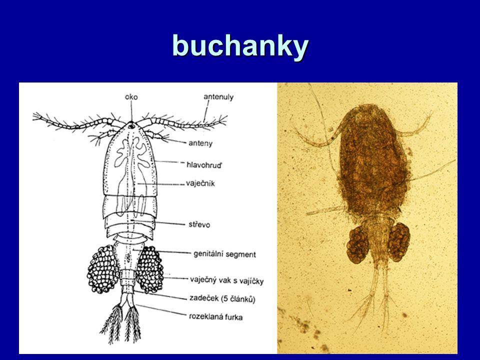 buchanky