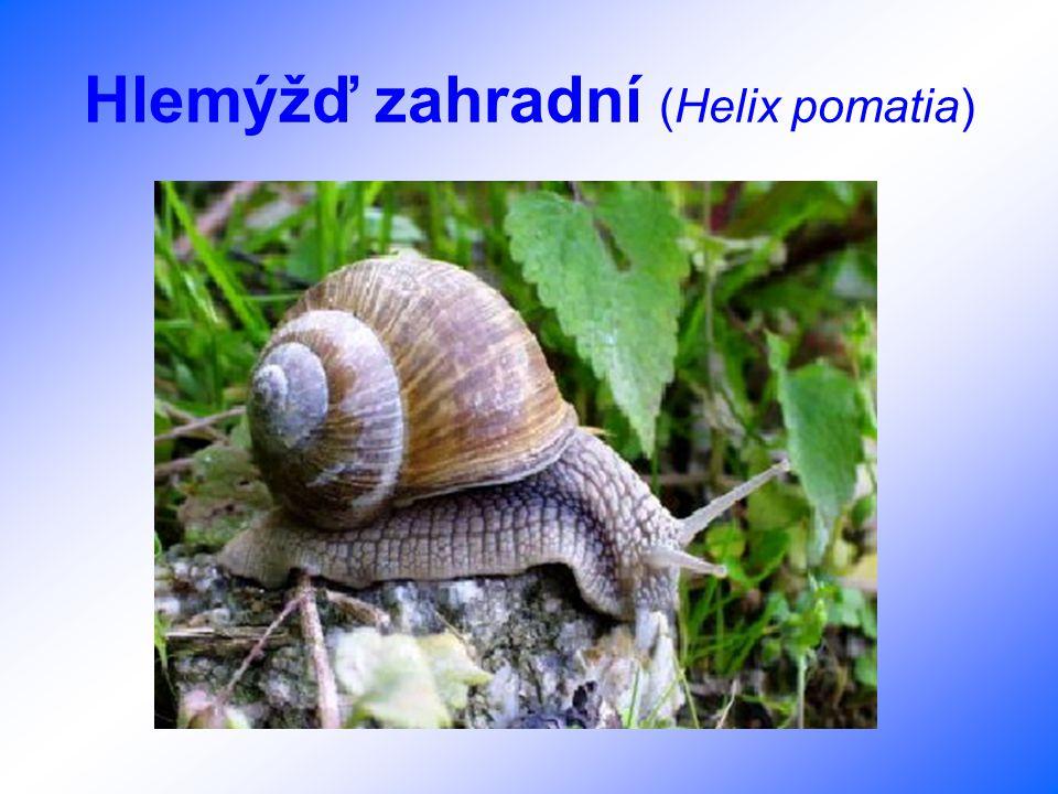 Slávka jedlá (Mytilus edulis)