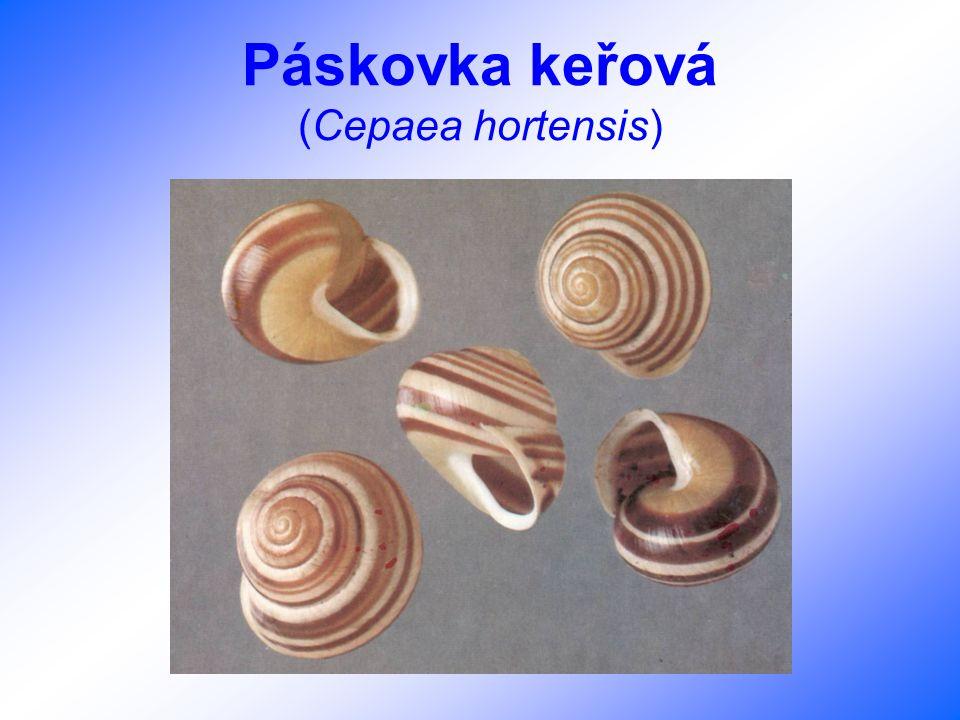 Loděnka hlubinná (Nautilus pompilius)