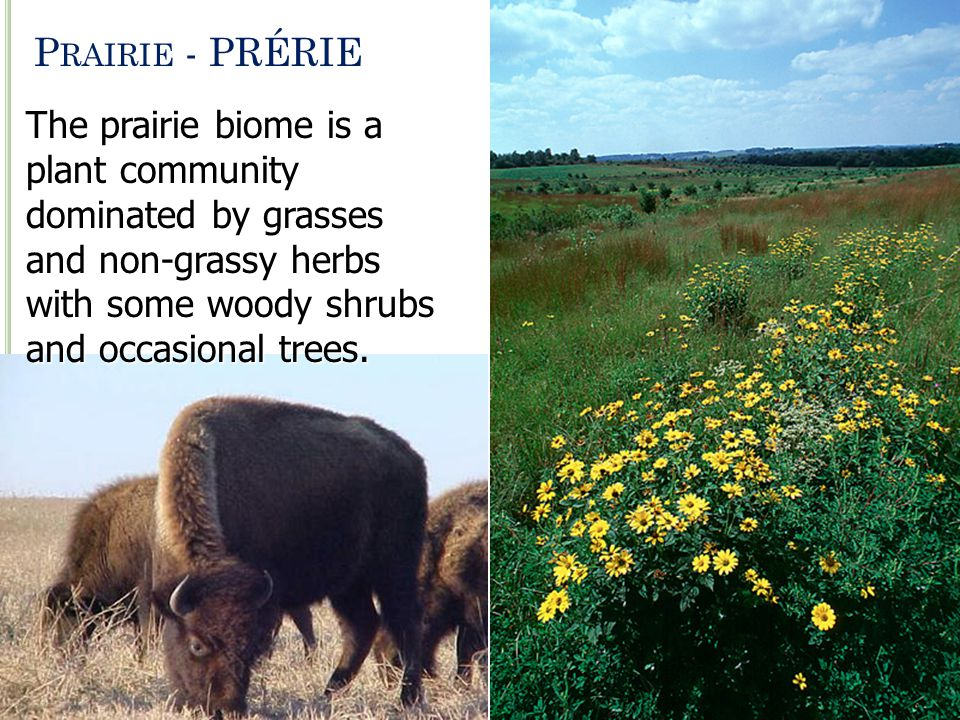 P RAIRIE - PRÉRIE The prairie biome is a plant community dominated by grasses and non-grassy herbs with some woody shrubs and occasional trees.