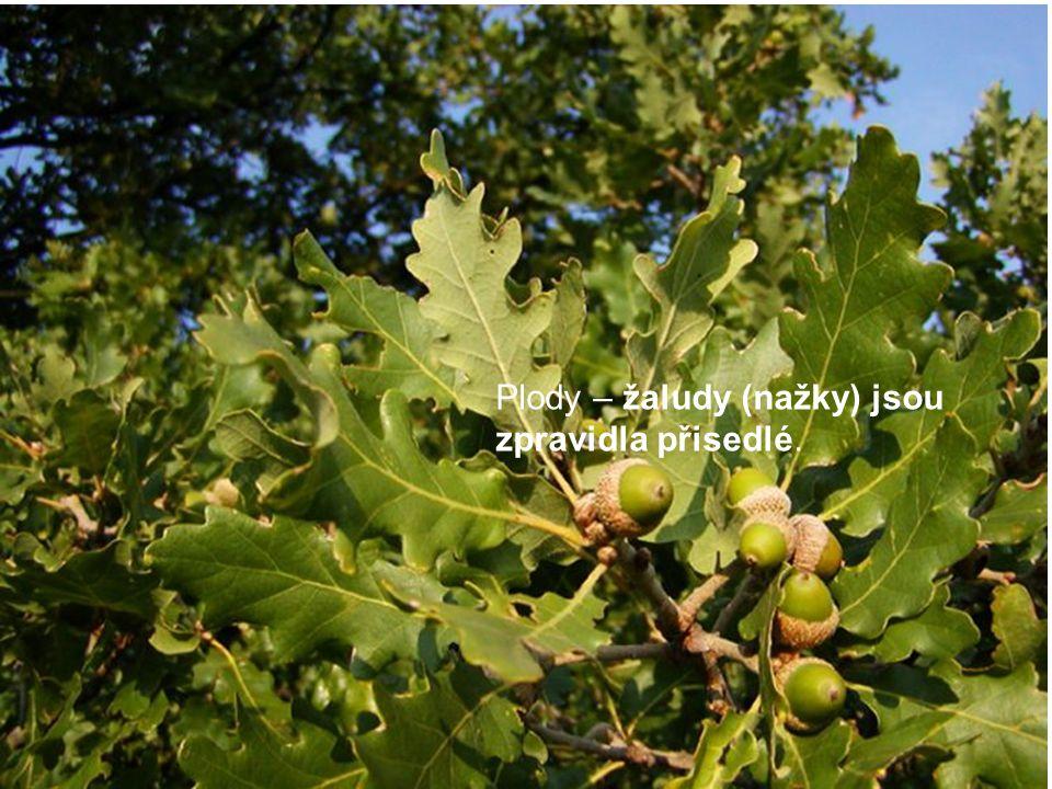 Plody – žaludy (nažky) jsou zpravidla přisedlé.
