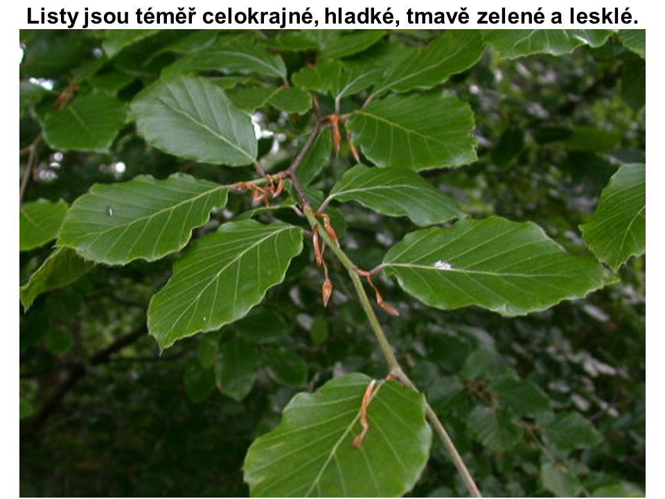 Listy jsou téměř celokrajné, hladké, tmavě zelené a lesklé.