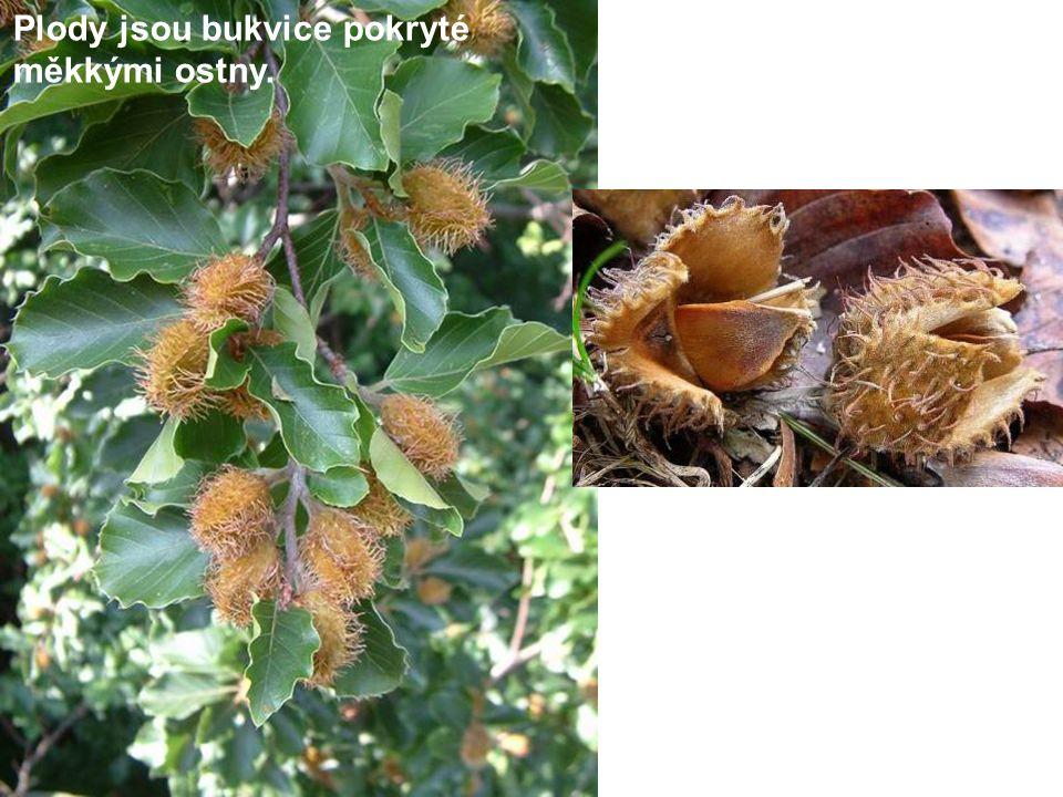 Plody jsou bukvice pokryté měkkými ostny.