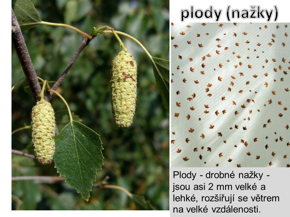 Plody - drobné nažky - jsou asi 2 mm velké a lehké, rozšiřují se větrem na velké vzdálenosti.