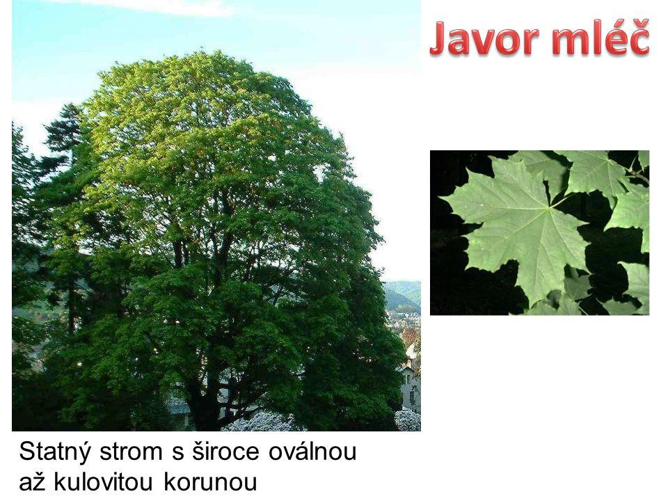 Statný strom s široce oválnou až kulovitou korunou