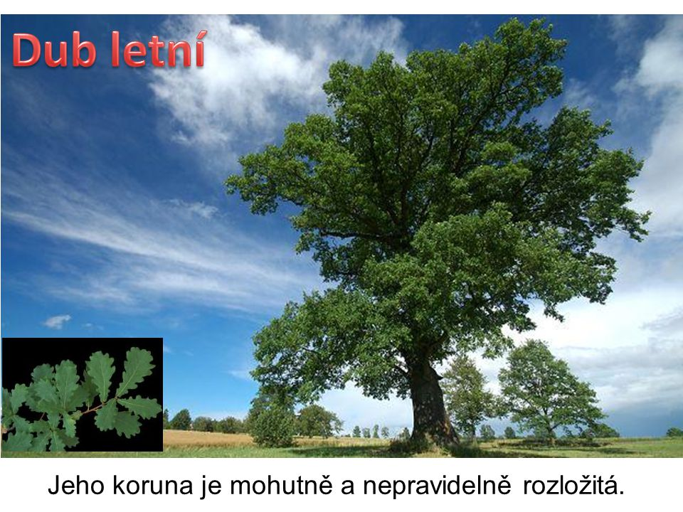 DUB LETNÍ je mohutný strom.