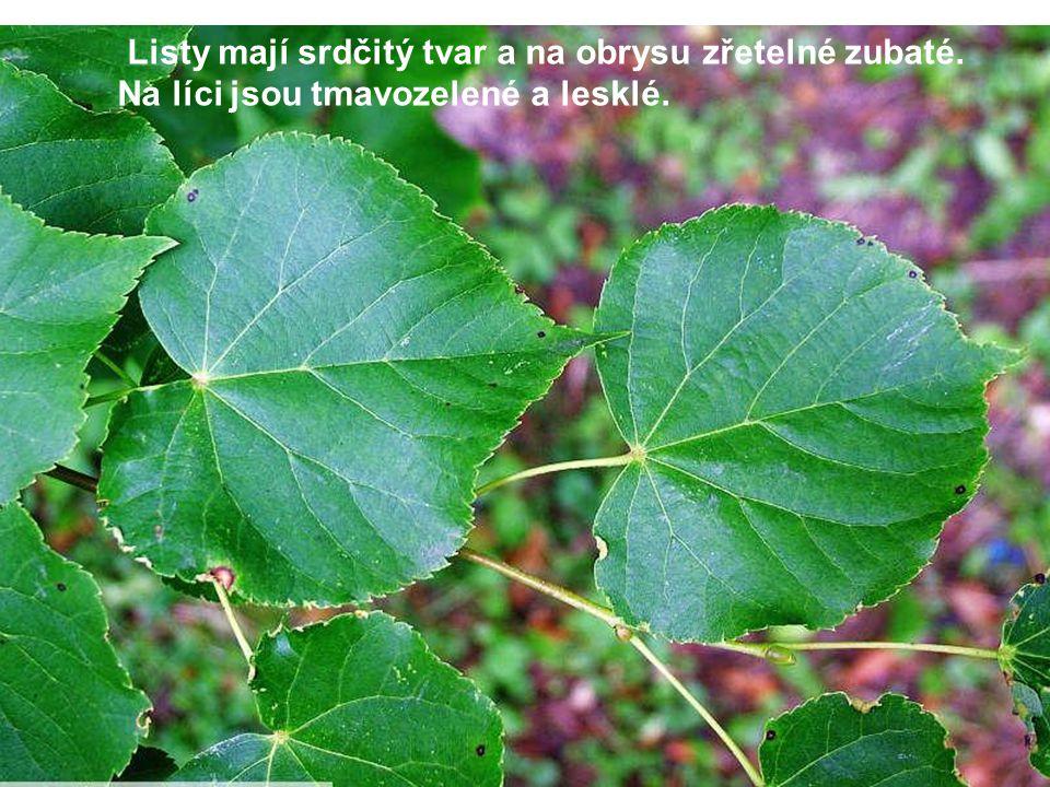 Listy mají srdčitý tvar a na obrysu zřetelné zubaté. Na líci jsou tmavozelené a lesklé.