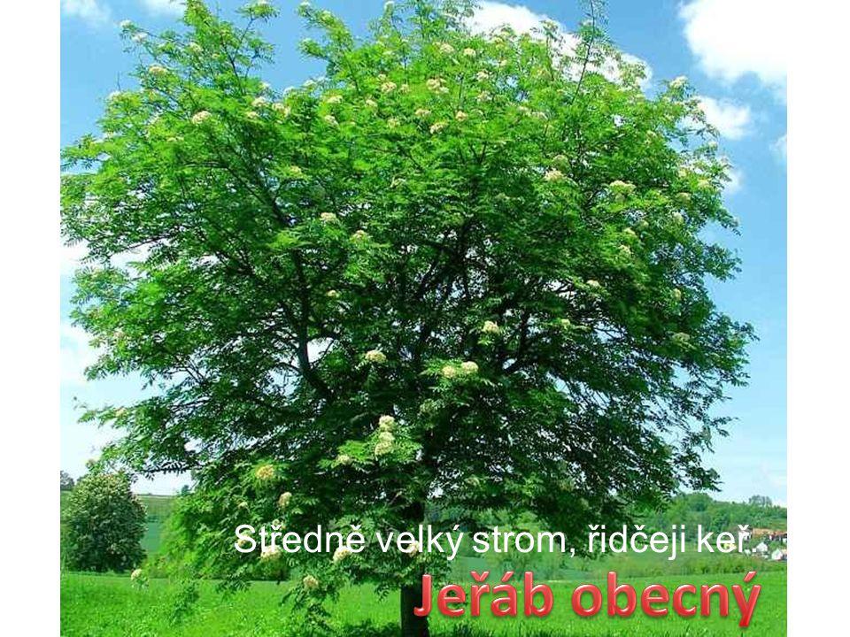 Středně velký strom, řidčeji keř.