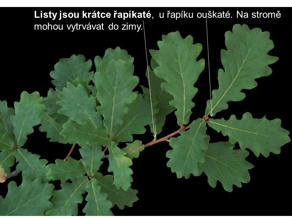 Listy jsou krátce řapíkaté, u řapíku ouškaté. Na stromě mohou vytrvávat do zimy.