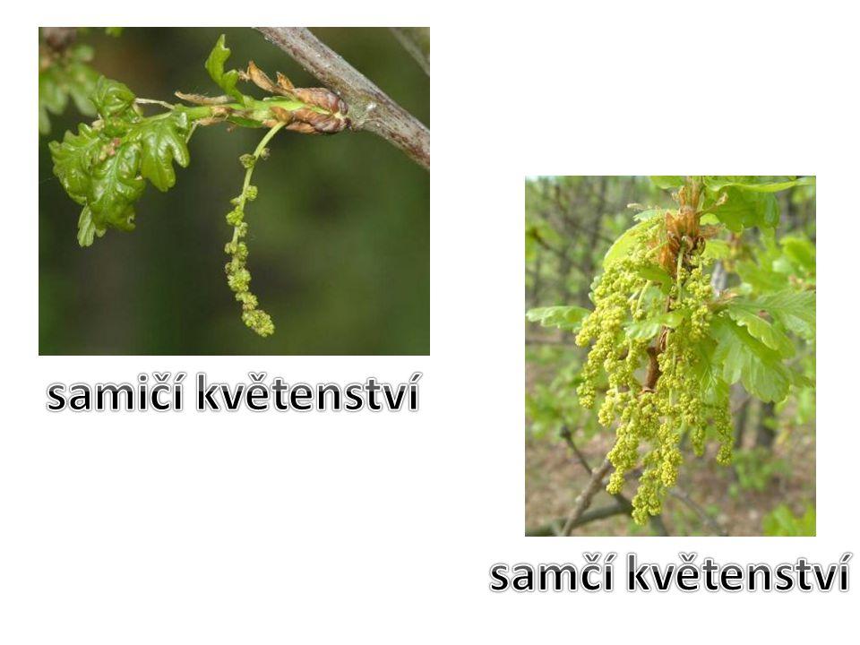 HABR OBECNÝ Habr se vyskytuje jako strom, vzácněji jako keř.