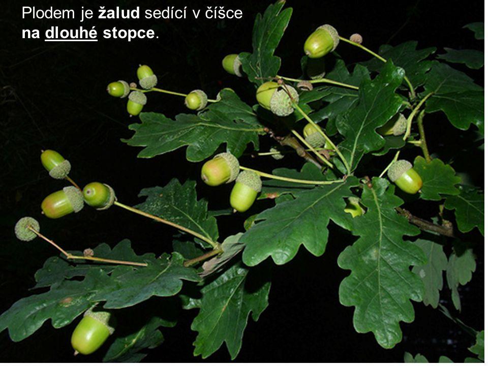 Plodem je žalud sedící v číšce na dlouhé stopce.