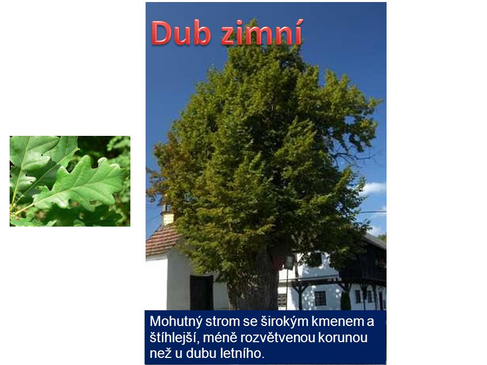 Mohutný strom se širokým kmenem a štíhlejší, méně rozvětvenou korunou než u dubu letního.