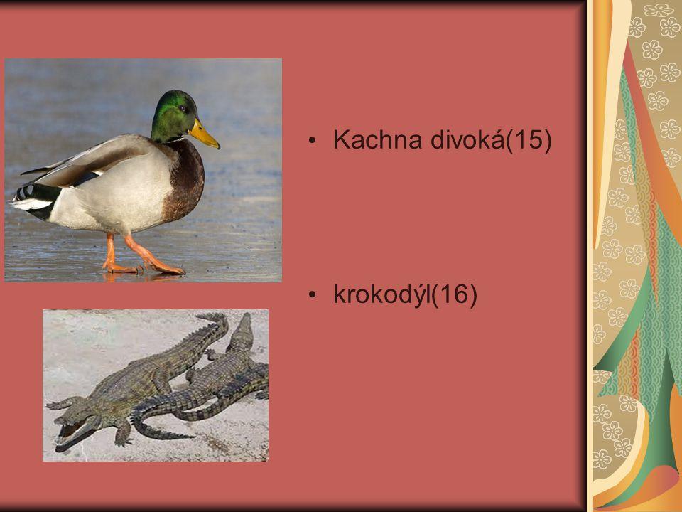 Kachna divoká(15) krokodýl(16)