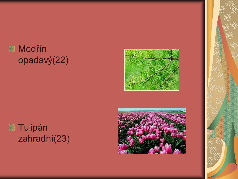 Modřín opadavý(22) Tulipán zahradní(23)