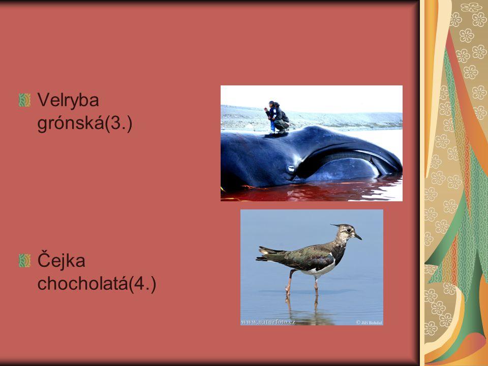 Velryba grónská(3.) Čejka chocholatá(4.)