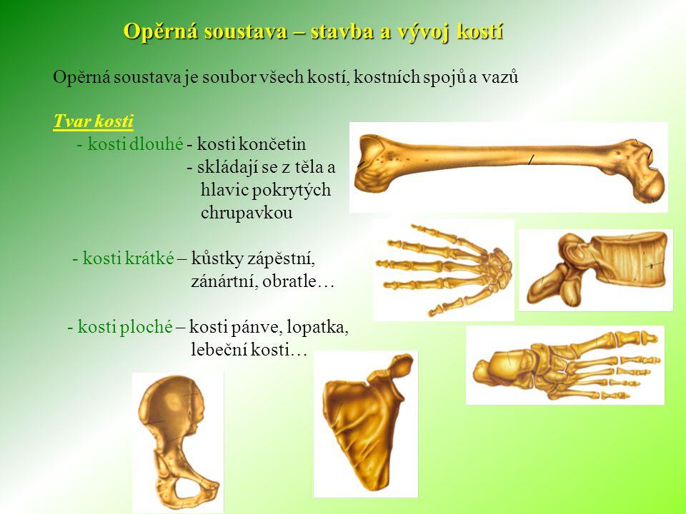 Opěrná soustava – stavba a vývoj kostí Opěrná soustava je soubor všech kostí, kostních spojů a vazů Tvar kosti - kosti dlouhé - kosti končetin - skládají se z těla a hlavic pokrytých chrupavkou - kosti krátké – kůstky zápěstní, zánártní, obratle… - kosti ploché – kosti pánve, lopatka, lebeční kosti…