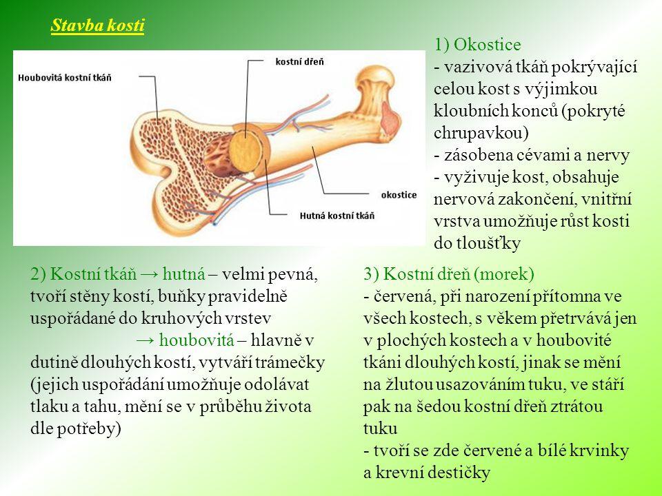 Růst a vývoj kosti - kosti vznikají během nitroděložního vývoje nejčastěji z chrupavek, jen některé z vaziva (lebka, hrudní koš) - proces se nazývá kostnatění (OSIFIKACE) - do šířky roste kost díky okostici - do délky roste díky růstovým chrupavkám (u dlouhých kostí umístěným poblíž hlavic) - růst kostí je ukončen mezi 18 a 25 rokem osifikací růstové ploténky - růst ovlivňují růstové hormony, pohlavní hormony, činnost štítné žlázy, zatížení kostí - nezbytný je přísun vápníku, fosforu, vitamínu D a jódu
