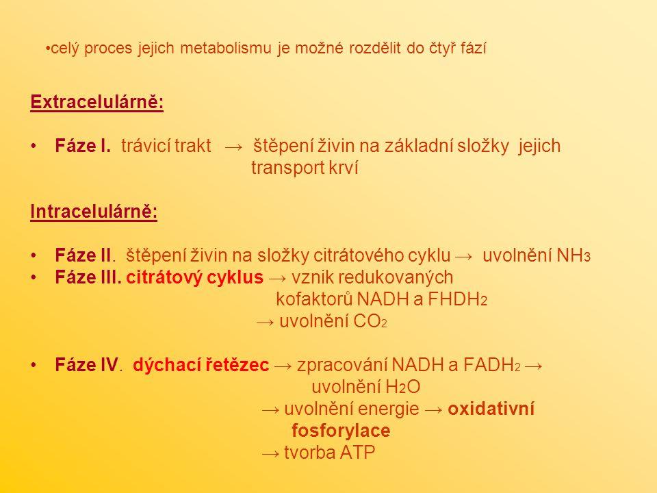 Extracelulárně: Fáze I.
