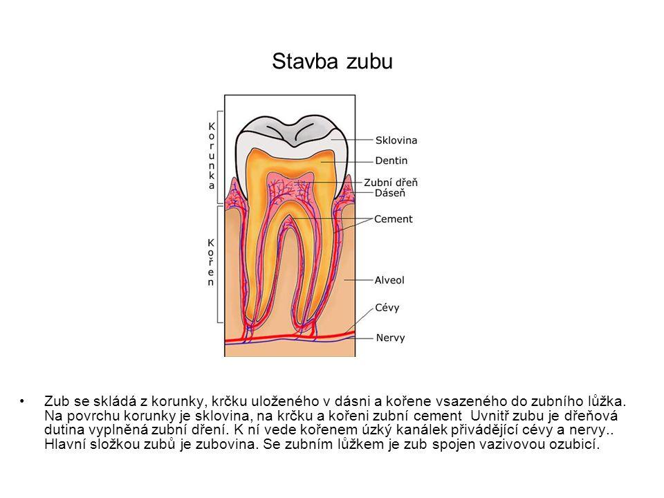 Stavba zubu Zub se skládá z korunky, krčku uloženého v dásni a kořene vsazeného do zubního lůžka.