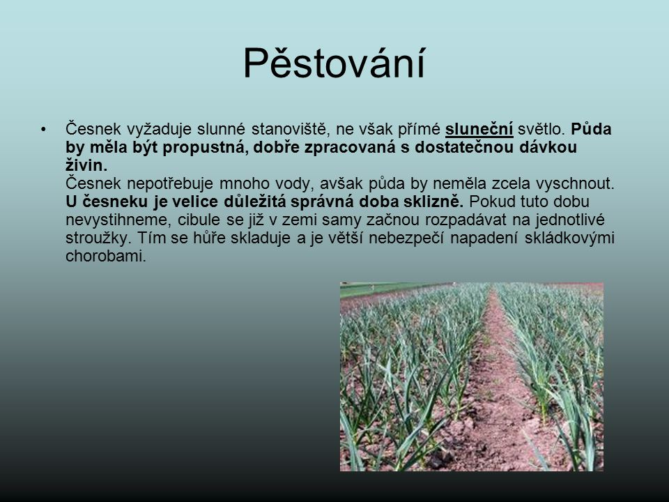 Pěstování Česnek vyžaduje slunné stanoviště, ne však přímé sluneční světlo. Půda by měla být propustná, dobře zpracovaná s dostatečnou dávkou živin. Č