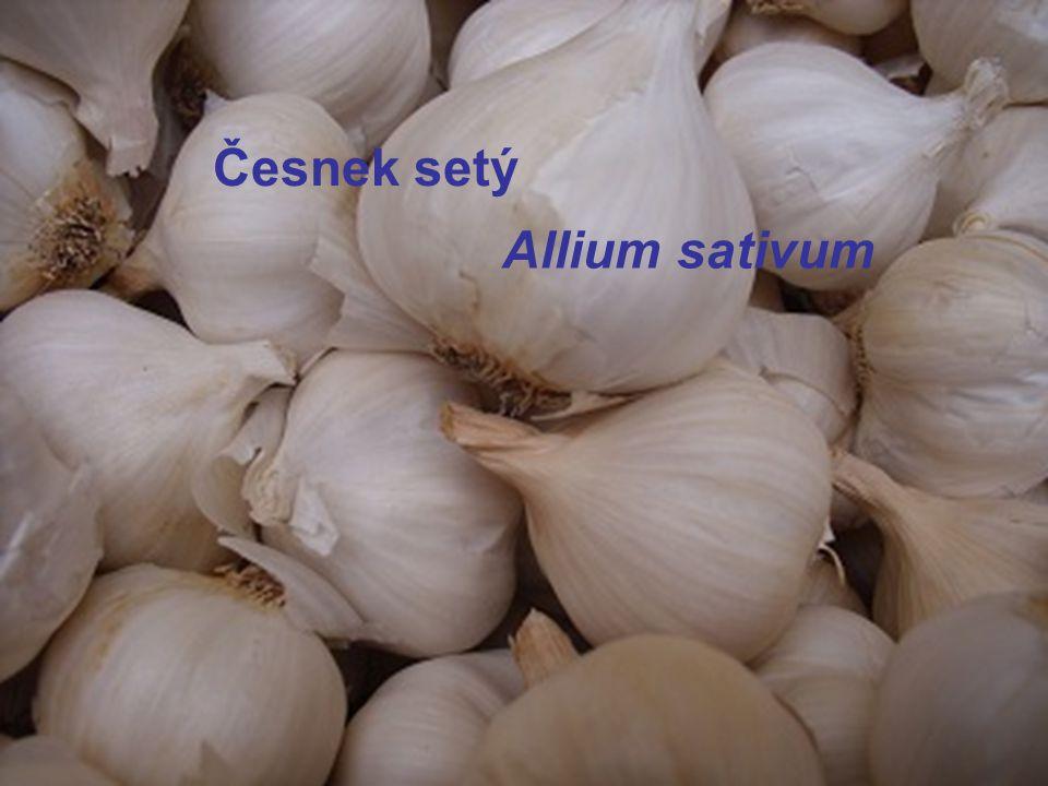 Česnek setý Allium sativum