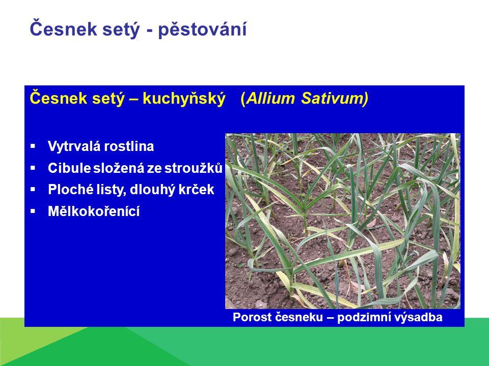 Česnek setý - pěstování Česnek setý – kuchyňský (Allium Sativum)  Vytrvalá rostlina  Cibule složená ze stroužků  Ploché listy, dlouhý krček  Mělkokořenící Porost česneku – podzimní výsadba