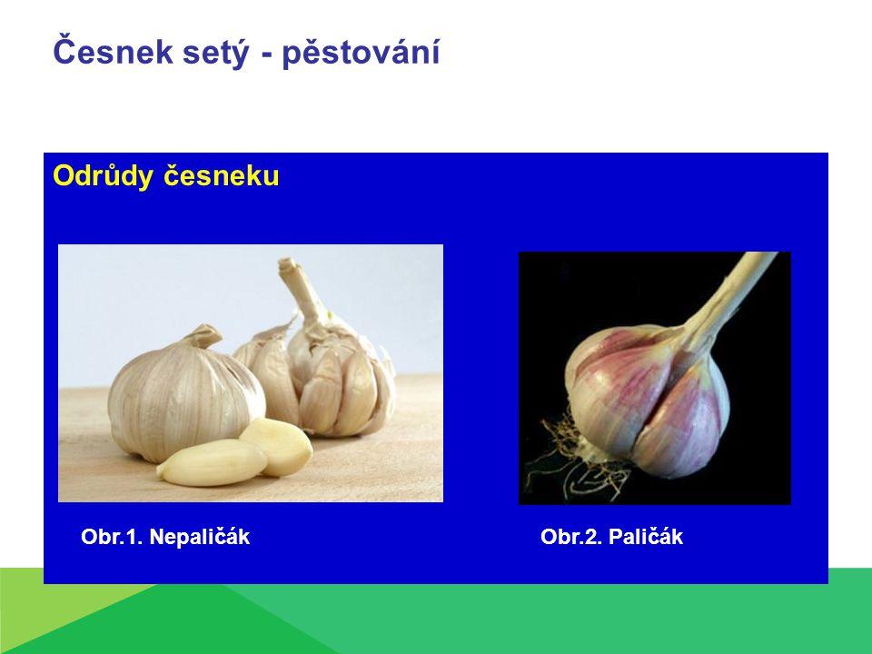 Česnek setý - pěstování Odrůdy česneku Obr.2. PaličákObr.1. Nepaličák