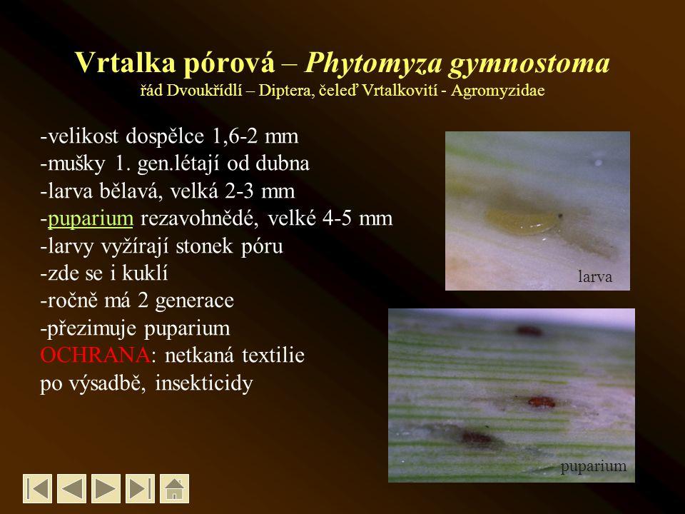 Vrtalka pórová – Phytomyza gymnostoma řád Dvoukřídlí – Diptera, čeleď Vrtalkovití - Agromyzidae -velikost dospělce 1,6-2 mm -mušky 1.