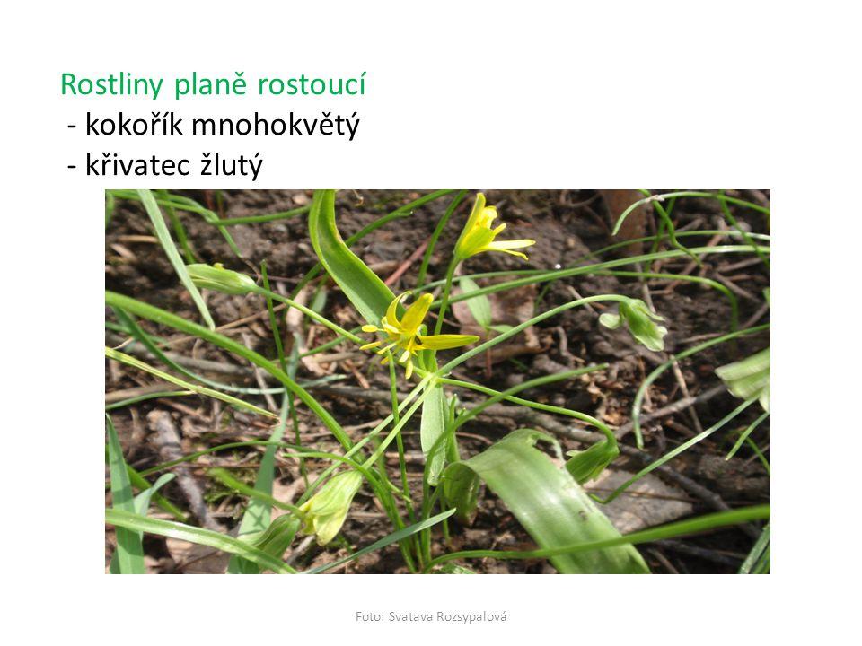 Řád: KOSATCOTVARÉ Čeleď: kosatcovité Rostliny okrasné -kosatec žlutý (Zakresli květenství a pojmenuj!) -šafrán jarní - Crocus (Co se říká o šafránu a proč?) -mečík (Má květenství vrcholičnaté nebo hroznovité.