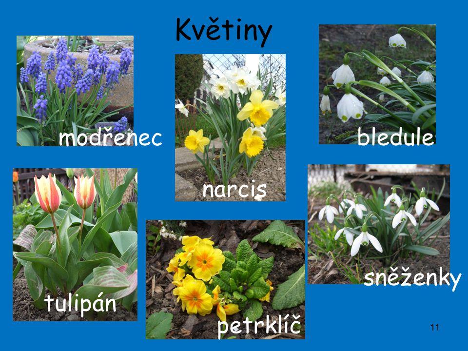 Květiny 11 modřenec tulipán narcis petrklíč bledule sněženky