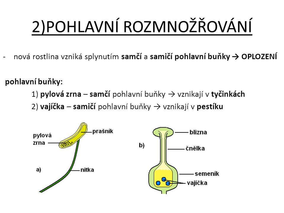 2)POHLAVNÍ ROZMNOŽŘOVÁNÍ -nová rostlina vzniká splynutím samčí a samičí pohlavní buňky → OPLOZENÍ pohlavní buňky: 1) pylová zrna – samčí pohlavní buňk