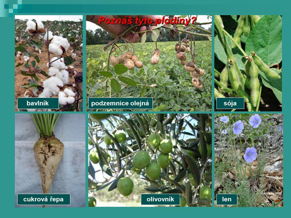 cukrová řepalenolivovník Poznáš tyto plodiny? sójabavlníkpodzemnice olejná