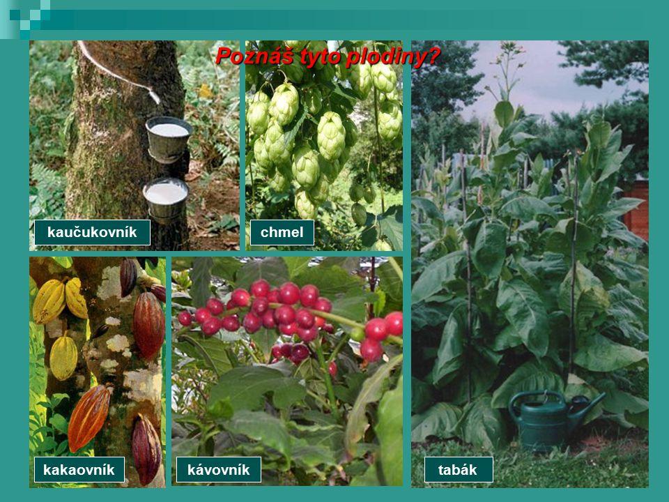 kaučukovníkchmel tabákkávovníkkakaovník Poznáš tyto plodiny?