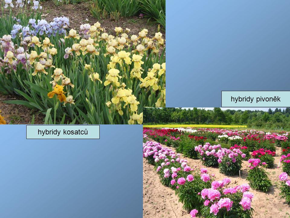 hybridy kosatců hybridy pivoněk