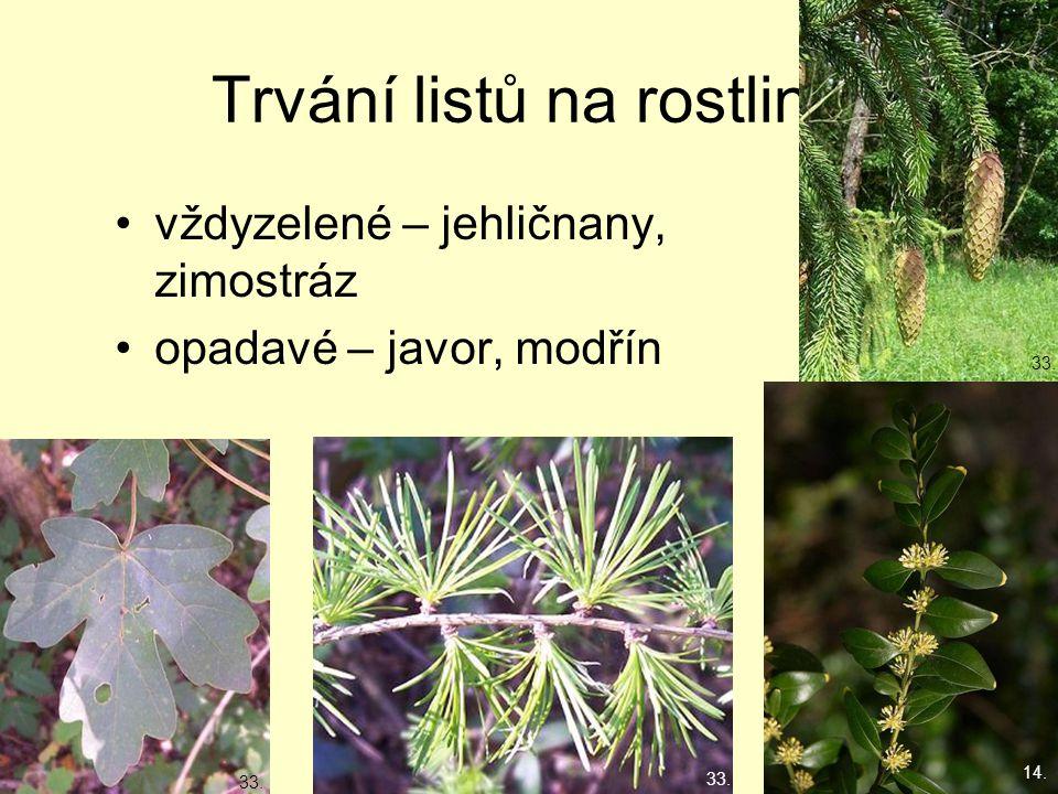 Trvání listů na rostlině vždyzelené – jehličnany, zimostráz opadavé – javor, modřín 14. 33. 14.