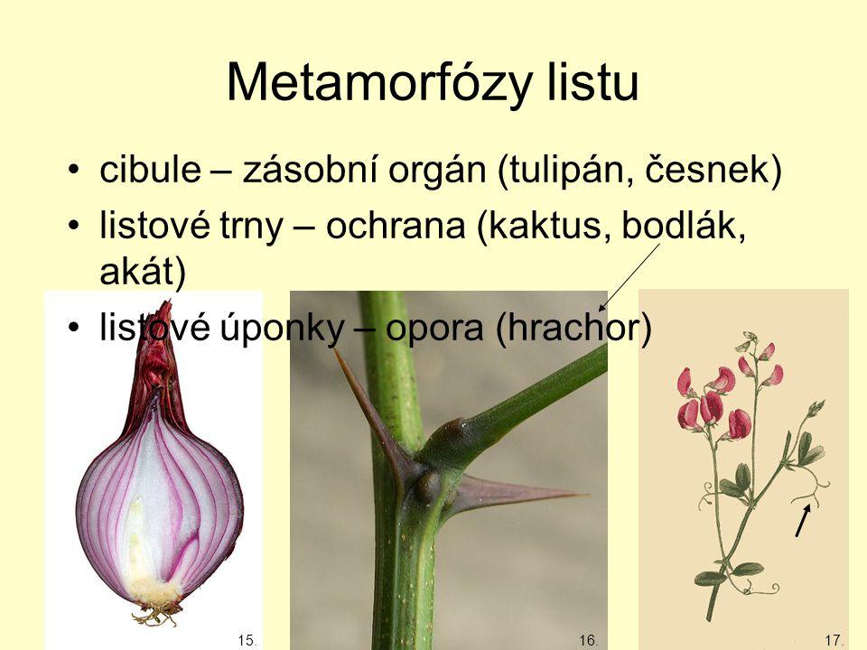 Metamorfózy listu cibule – zásobní orgán (tulipán, česnek) listové trny – ochrana (kaktus, bodlák, akát) listové úponky – opora (hrachor) 15.17.16.