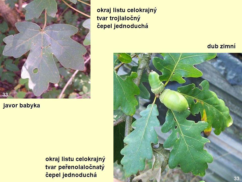 okraj listu celokrajný tvar trojlaločný čepel jednoduchá javor babyka dub zimní okraj listu celokrajný tvar peřenolaločnatý čepel jednoduchá 33.
