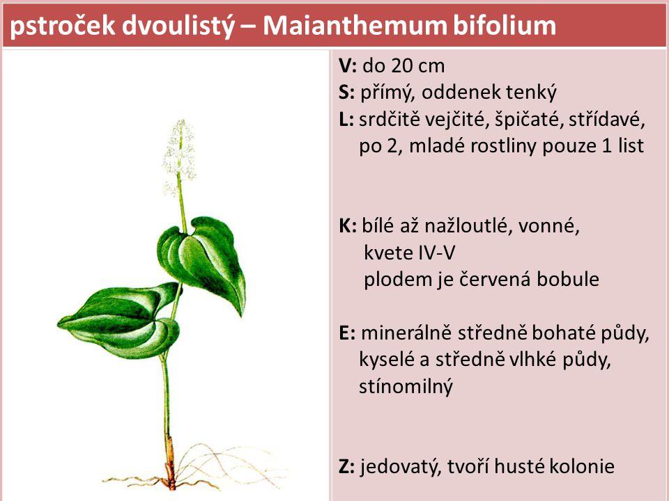 pstroček dvoulistý – Maianthemum bifolium V: do 20 cm S: přímý, oddenek tenký L: srdčitě vejčité, špičaté, střídavé, po 2, mladé rostliny pouze 1 list K: bílé až nažloutlé, vonné, kvete IV-V plodem je červená bobule E: minerálně středně bohaté půdy, kyselé a středně vlhké půdy, stínomilný Z: jedovatý, tvoří husté kolonie