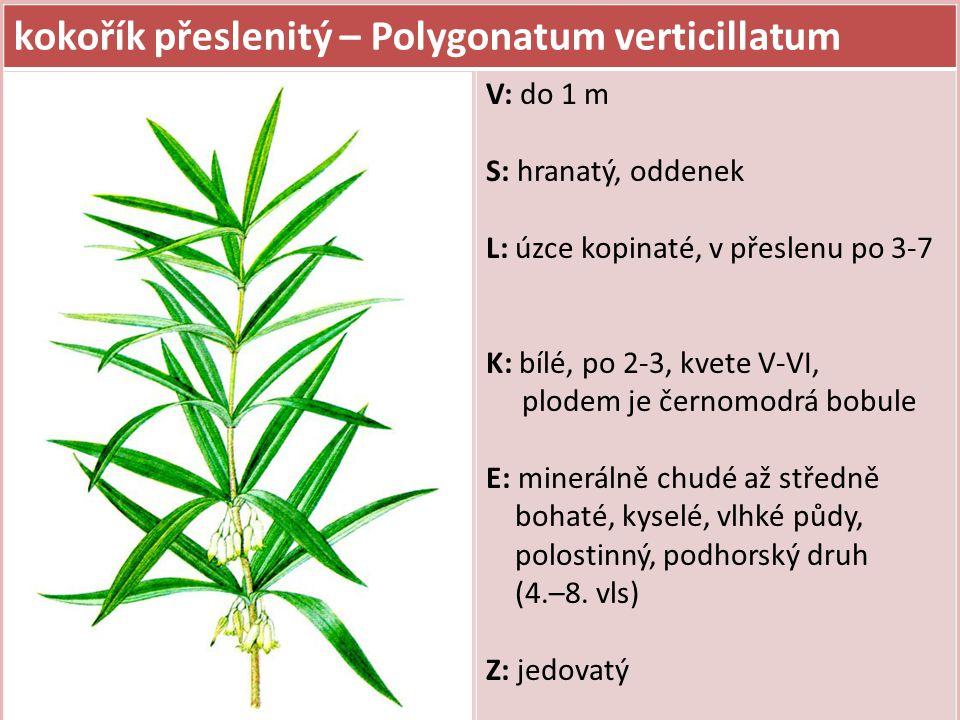 kokořík přeslenitý – Polygonatum verticillatum V: do 1 m S: hranatý, oddenek L: úzce kopinaté, v přeslenu po 3-7 K: bílé, po 2-3, kvete V-VI, plodem je černomodrá bobule E: minerálně chudé až středně bohaté, kyselé, vlhké půdy, polostinný, podhorský druh (4.–8.