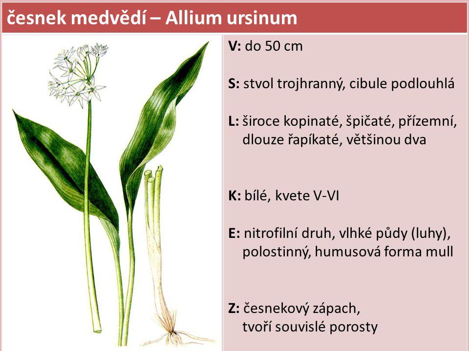 česnek medvědí – Allium ursinum V: do 50 cm S: stvol trojhranný, cibule podlouhlá L: široce kopinaté, špičaté, přízemní, dlouze řapíkaté, většinou dva K: bílé, kvete V-VI E: nitrofilní druh, vlhké půdy (luhy), polostinný, humusová forma mull Z: česnekový zápach, tvoří souvislé porosty