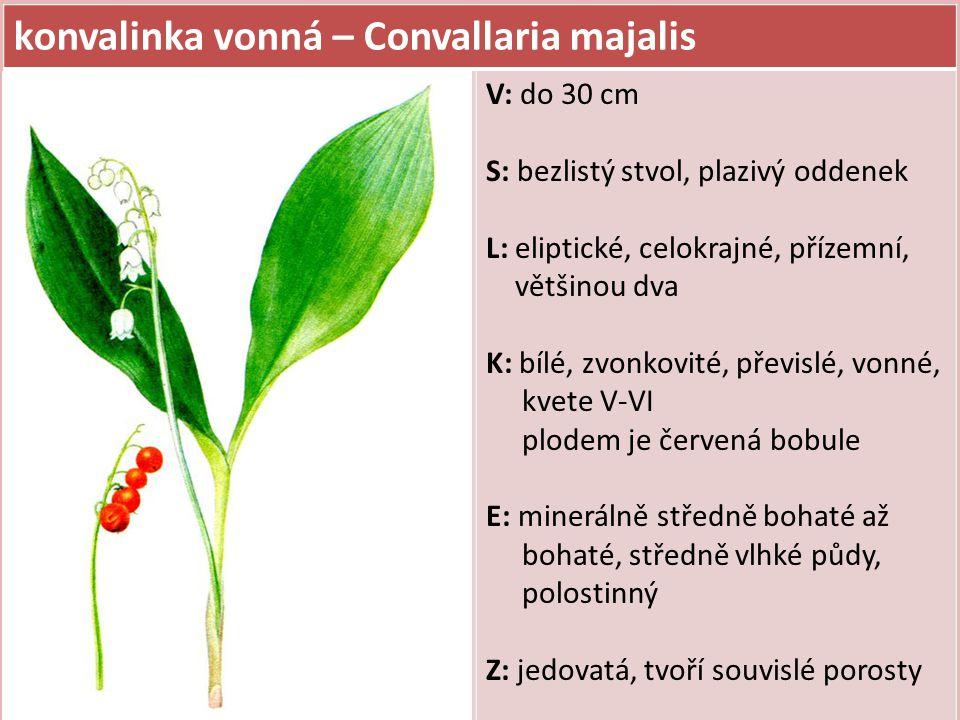 konvalinka vonná – Convallaria majalis V: do 30 cm S: bezlistý stvol, plazivý oddenek L: eliptické, celokrajné, přízemní, většinou dva K: bílé, zvonkovité, převislé, vonné, kvete V-VI plodem je červená bobule E: minerálně středně bohaté až bohaté, středně vlhké půdy, polostinný Z: jedovatá, tvoří souvislé porosty