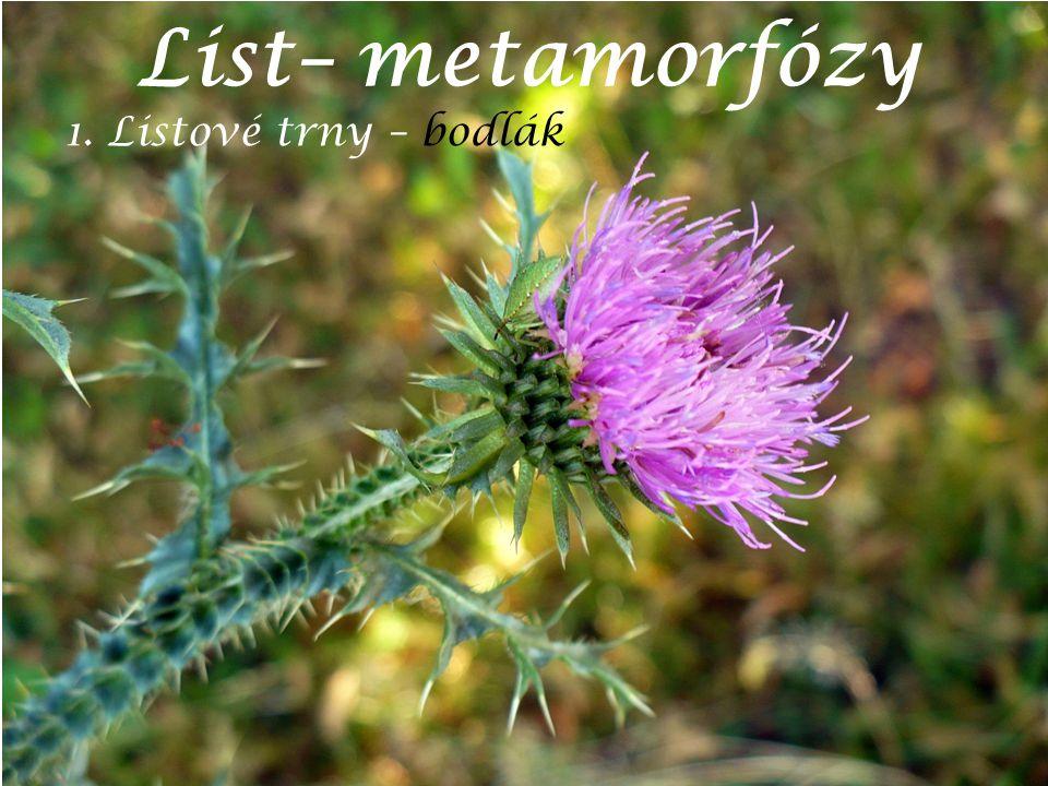 List– metamorfózy 1. Listové trny – bodlák